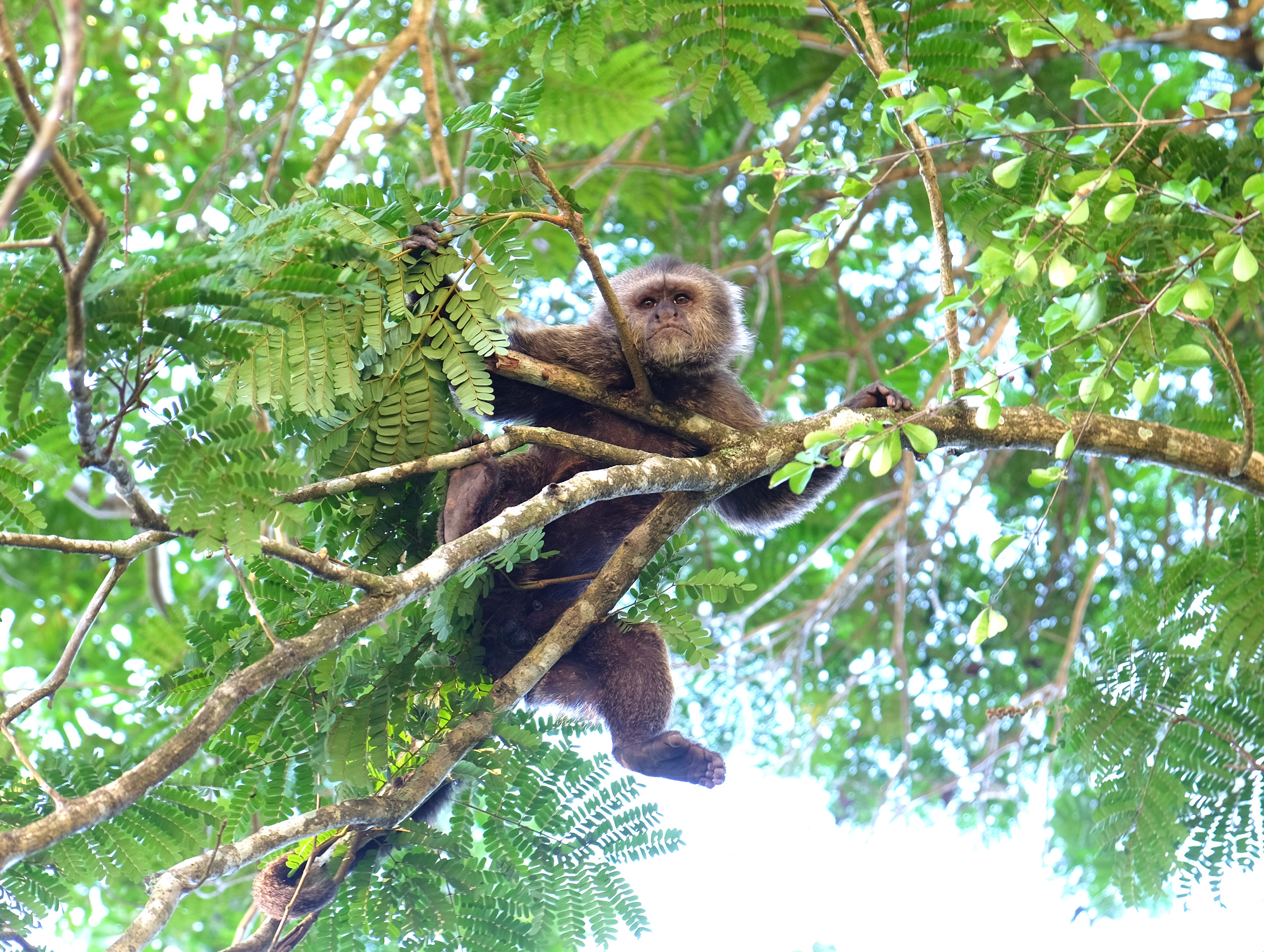 CAPUCHIN MONKEY MANSPREADING IN A TREE