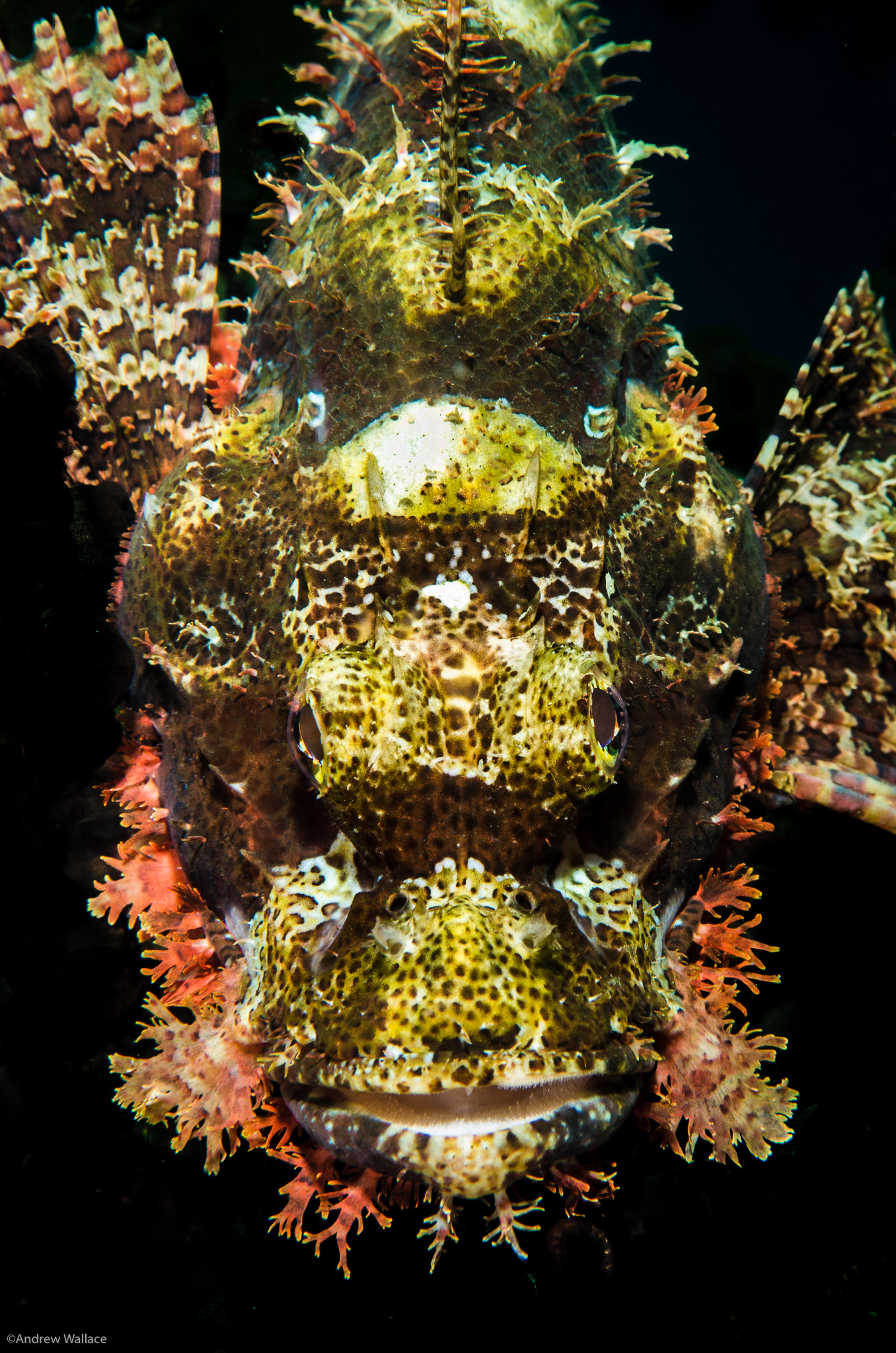 Underwater    Scorpionfish - Komodo National Park   Images I have take from all over the world, and in my own Monterey backyard.