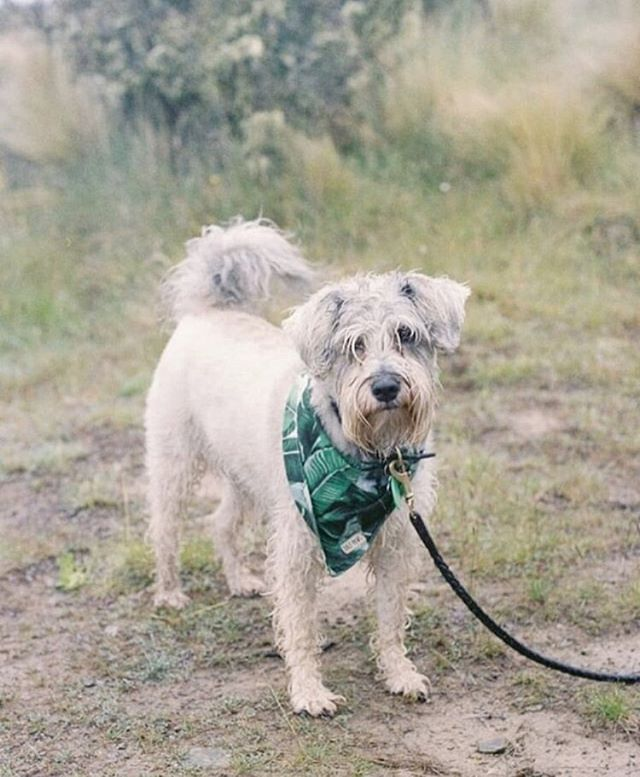 Where have you taken you Paws bandana? From the streets to the beach, our cotton bandanas can go on any adventure! . . #bali #balipaws #balidog #dogbandana #rescuedog #rescue #islanddog #beachdog #mountaindog #givemore #giveback #adventurepups #dogpark #canggu #adoptdontshop #dailywoof #slpets #dailybark