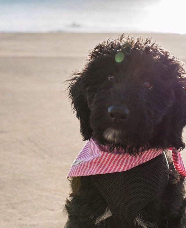 Pretty in Pink! We love our line of simple stripes, including our pink and white 'Lucky Stripe' bandana . . #bali #Balipaws #balidog #canggu #berawa #dogsofsydney #dogsofmelbourne #dogsofperth #rescuedog #beachdog #islanddog #mountaindog #dailybark #dailywoof #dogsofseattle #dogsofla #slpets