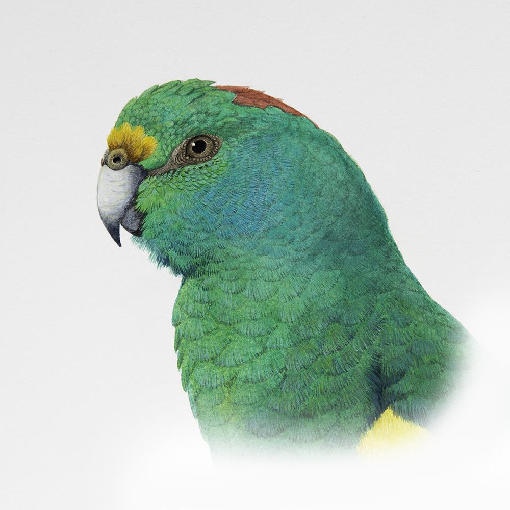 Mulga-Parrot-portrait-_D8H1950.jpg