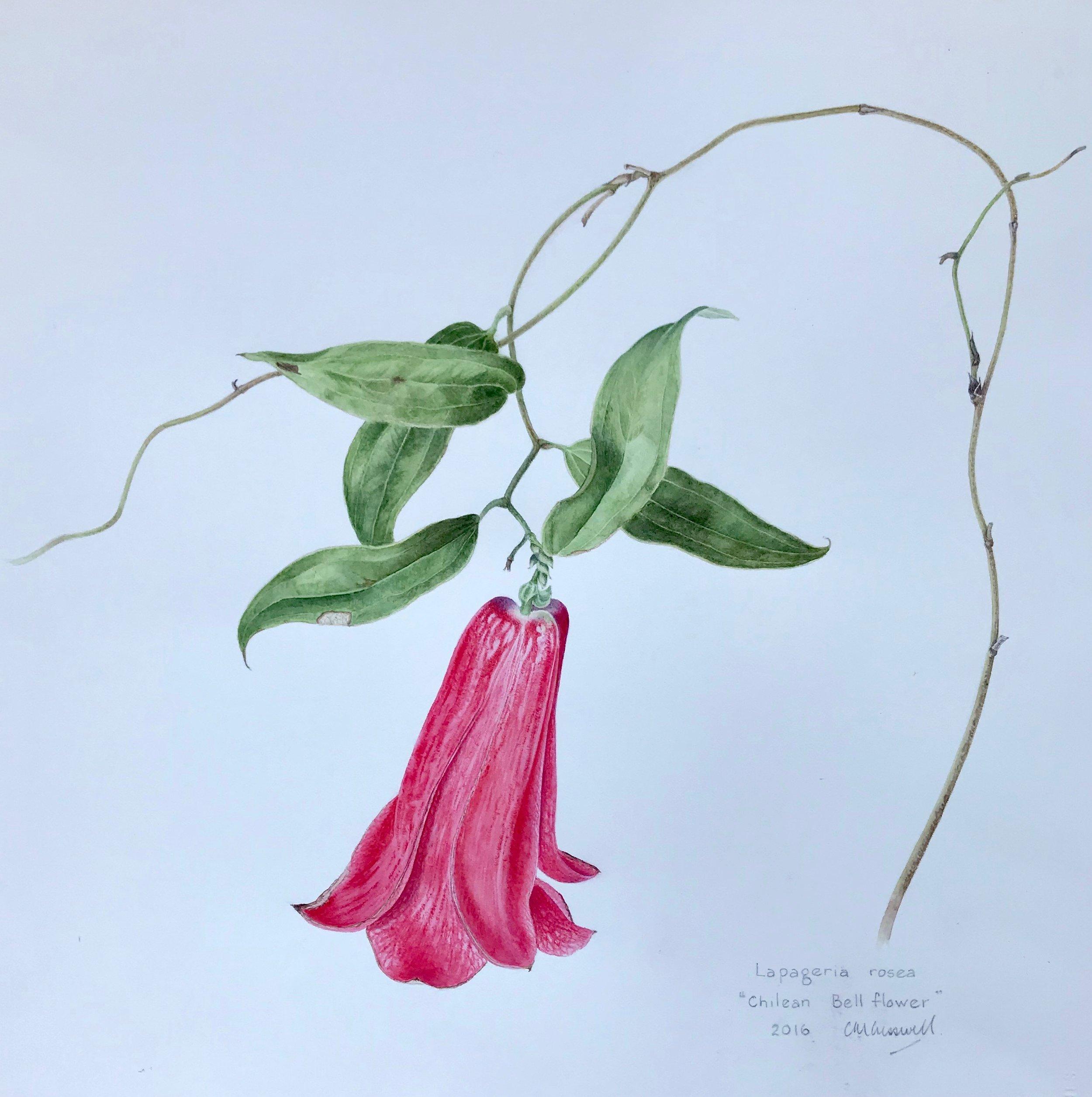 C.CRESSWELL-Laparegia-Rosea-Watercolour-400X400mm.jpg