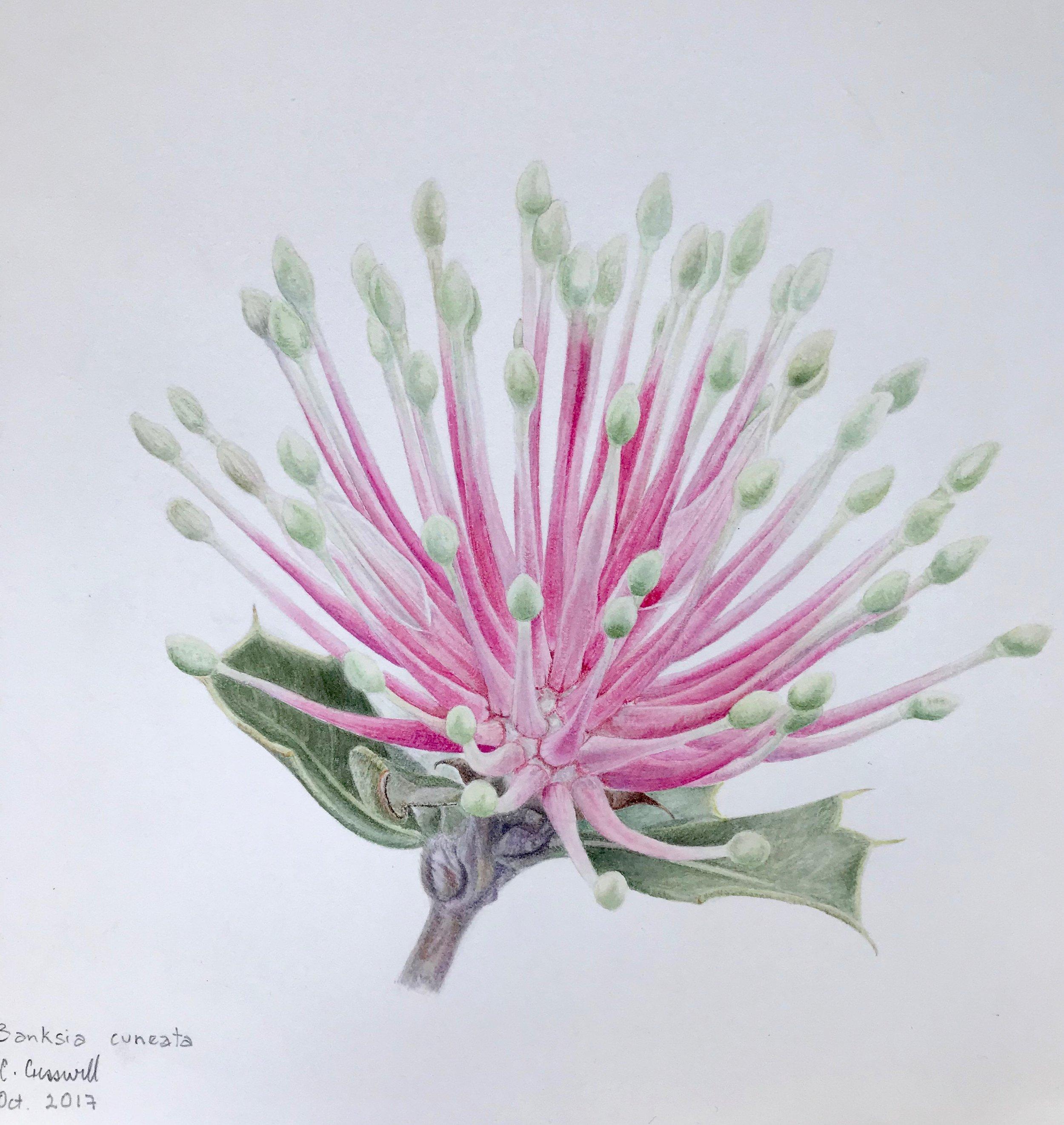 C.CRESSWELL-Banksia-cuneata-Watercolour-200X150mm.jpg