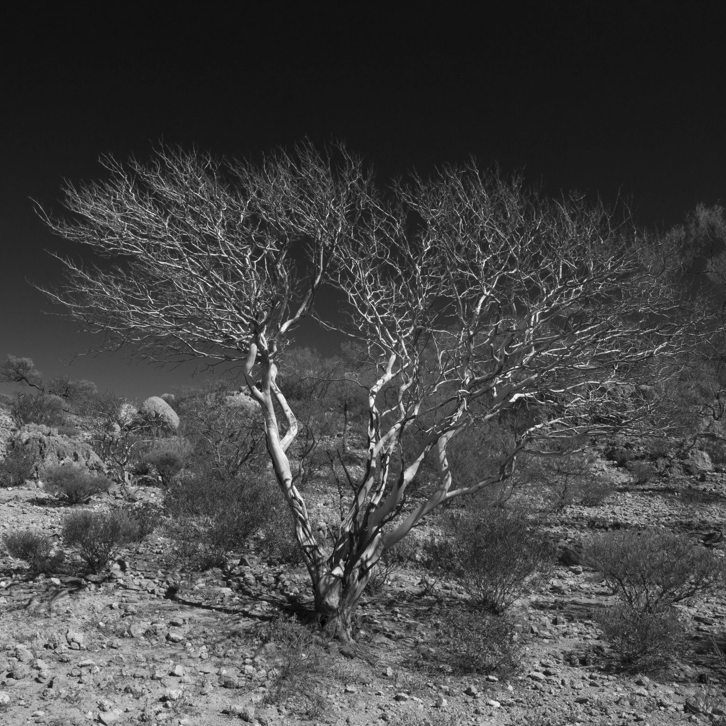 Leonie Mac Lean-Acacia grasbyii B&W-2017-Photography-50x50cm.jpg