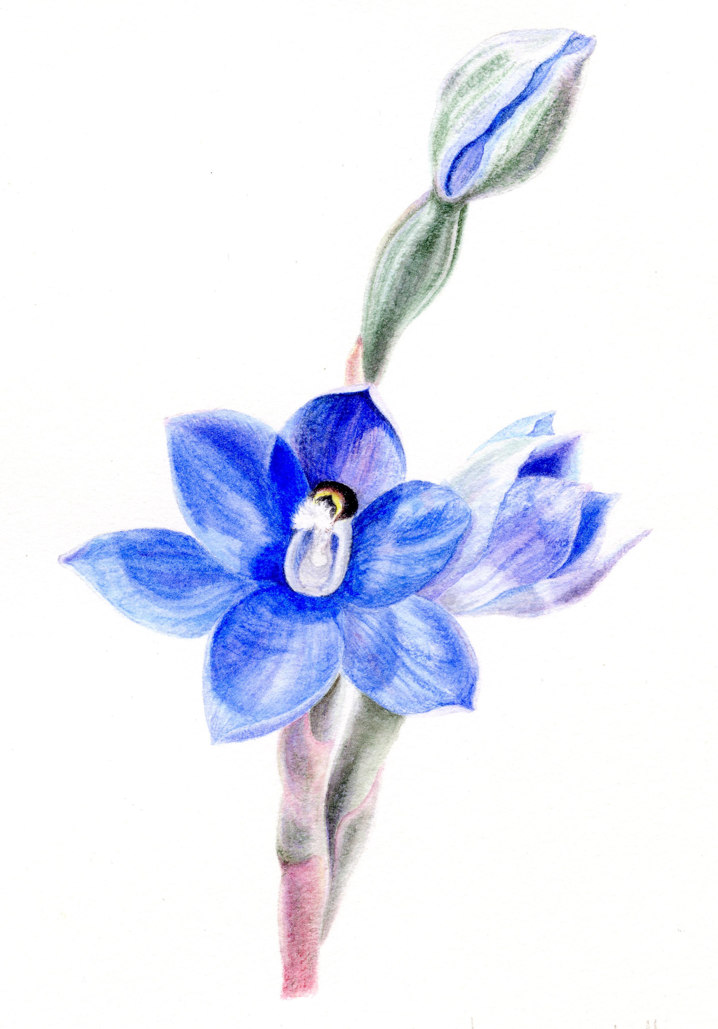 Christine Cresswell_Thelymitra Flower_2018_Watercolour_20x30cm.jpg