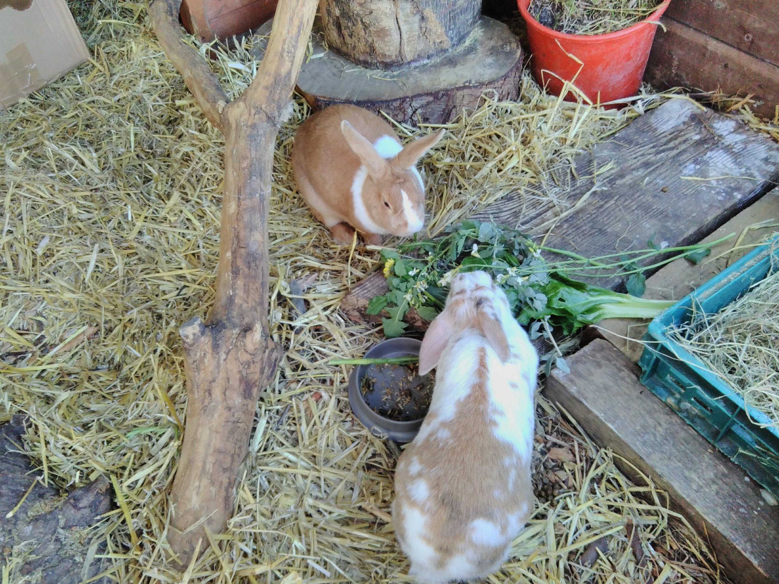 The rabbits enjoying their feast!