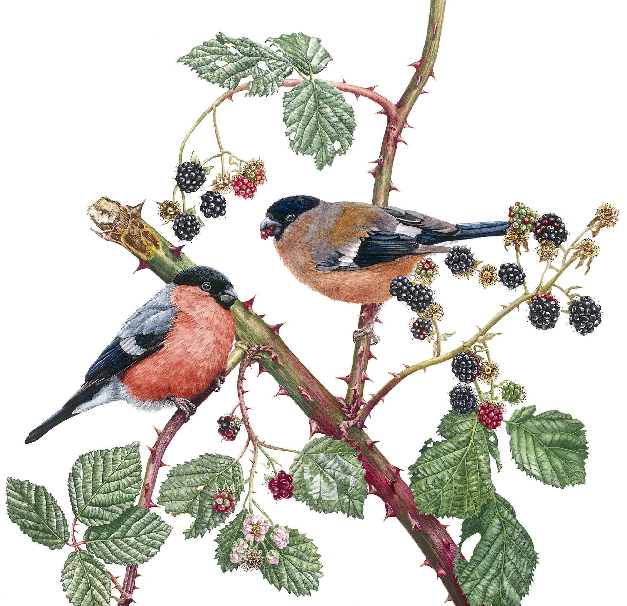 Zoe Norman, Bullfinches and Blackberries, Watercolour, 36cm x 41cm x 0.1,  http://www.zoeelizabethnorman.com