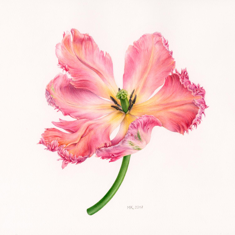 Marina Kiselyova, Apricot Parrot Tulip, Watercolour on paper, 30 cm x 30 cm,  https://tasamajamarina.com/
