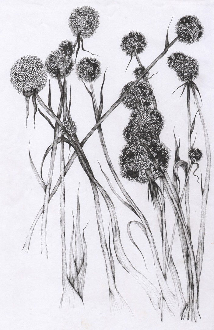Aimee Sajjan-Servaes  Flower Study: Leeks Gone to Seed  Ink on Paper, 29.7 x 21 cm  https://www.aimeelouiseillustration.com