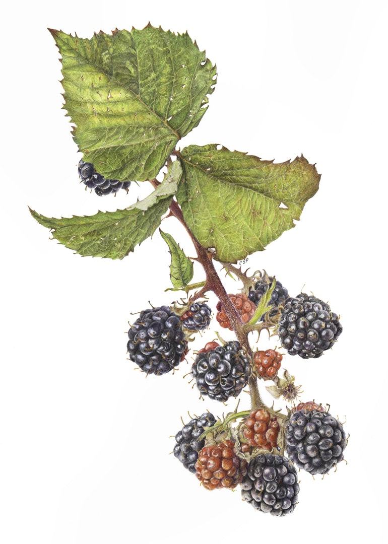 Carolyn Phillips  Sian Phillips. Rubus fruiticosus. Blackberry.  Faber Castell Polychromos coloured pencil on Arches paper, 42 x 30 cm