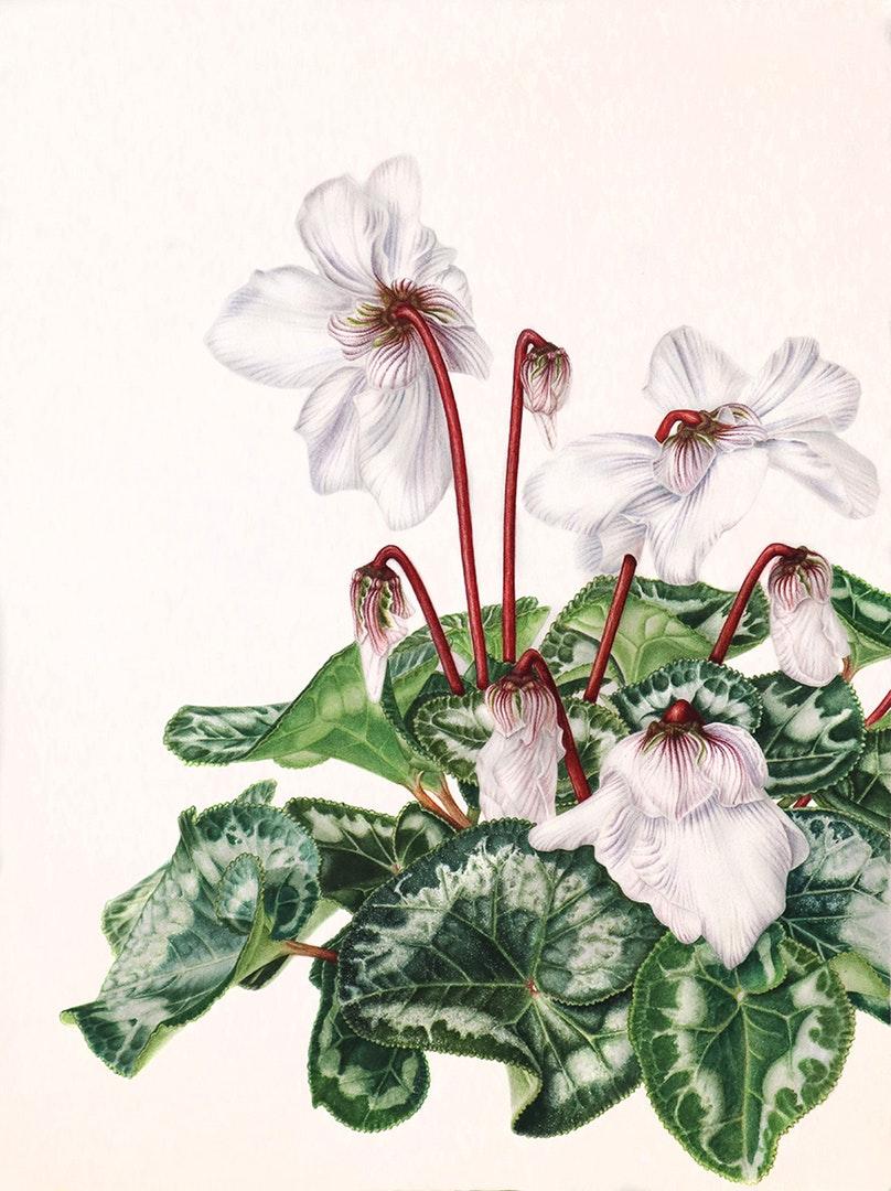 Nadya Deeva  Cyclamen  Watercolour on paper, 41 x 31 cm