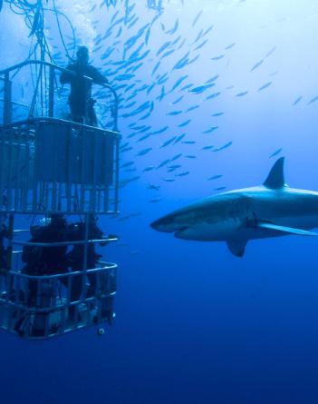 shark-dive.png