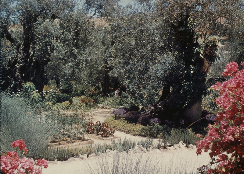 Jerusalem. Garden of Gethsemane.     Trees and Flowers, 1948. Photograph by Lewis Larson