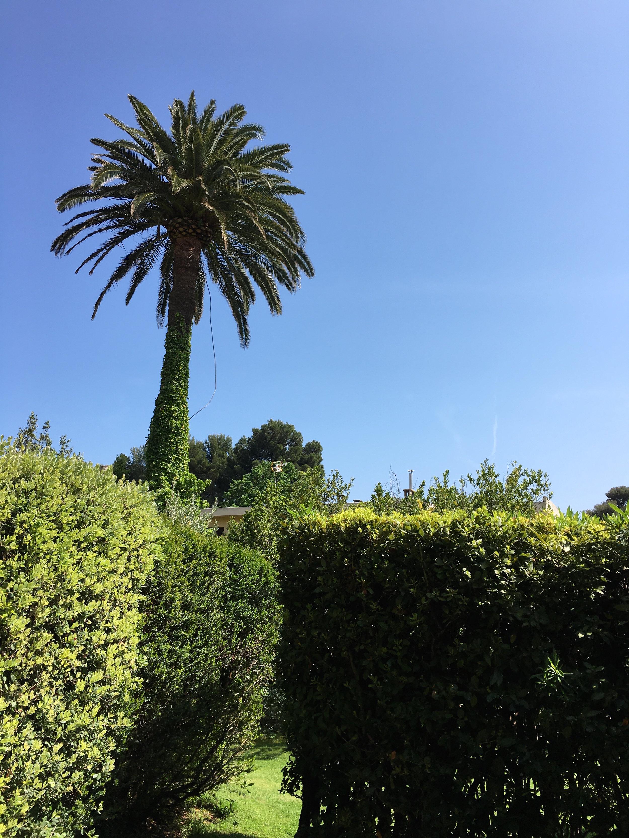 Riviera Palm Tree