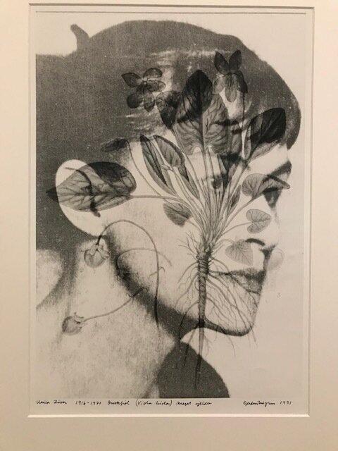 Fra serien  Usynliggjorte, utryddete og truede arter  av Gerd Tinglum. Detalj av  Unica Zurn (1916-1970), Buskfiol, Viola hirta, meget sjelden . Foto: Arnhild Sunnanå