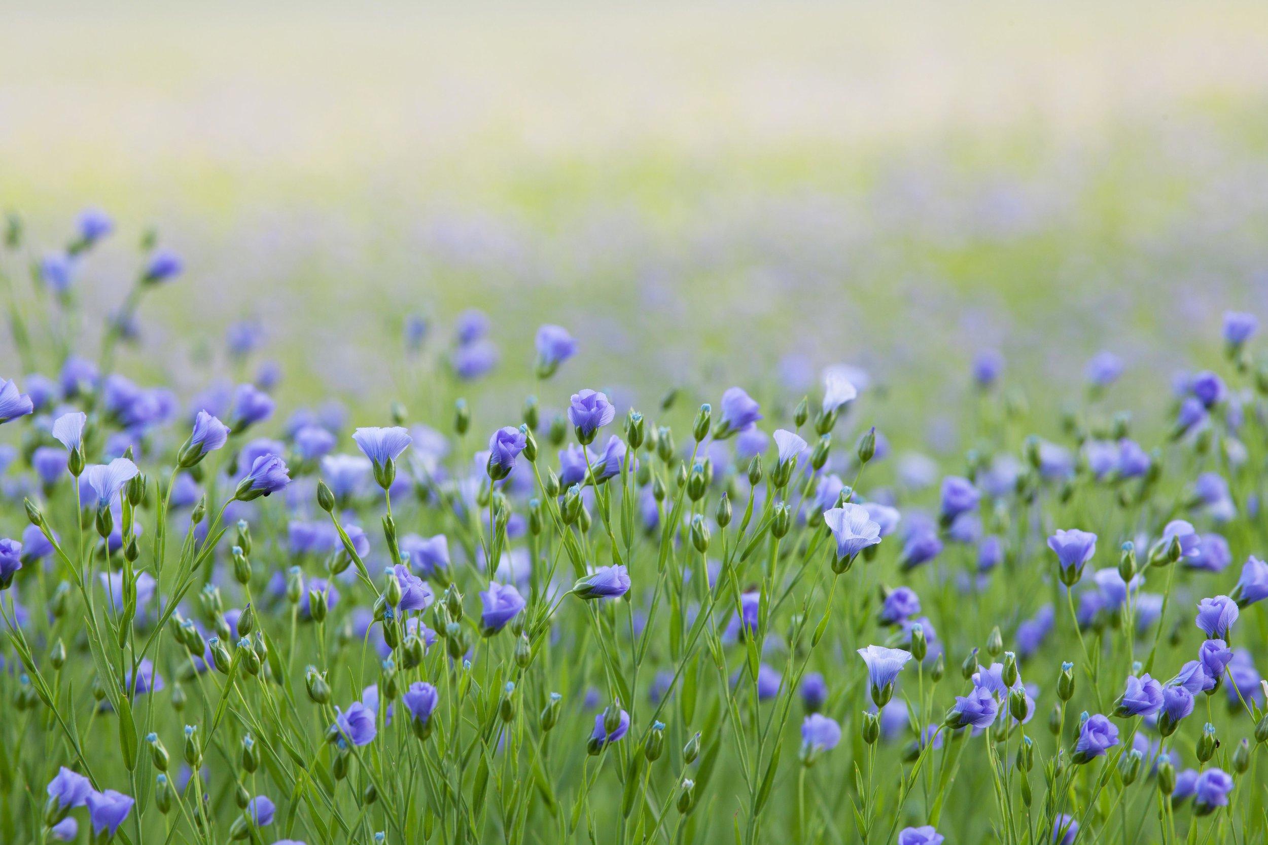 Flax Flowers in Bloom (2).jpg