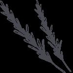 rosemary sprigs illustration