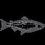 wild salmon illustration