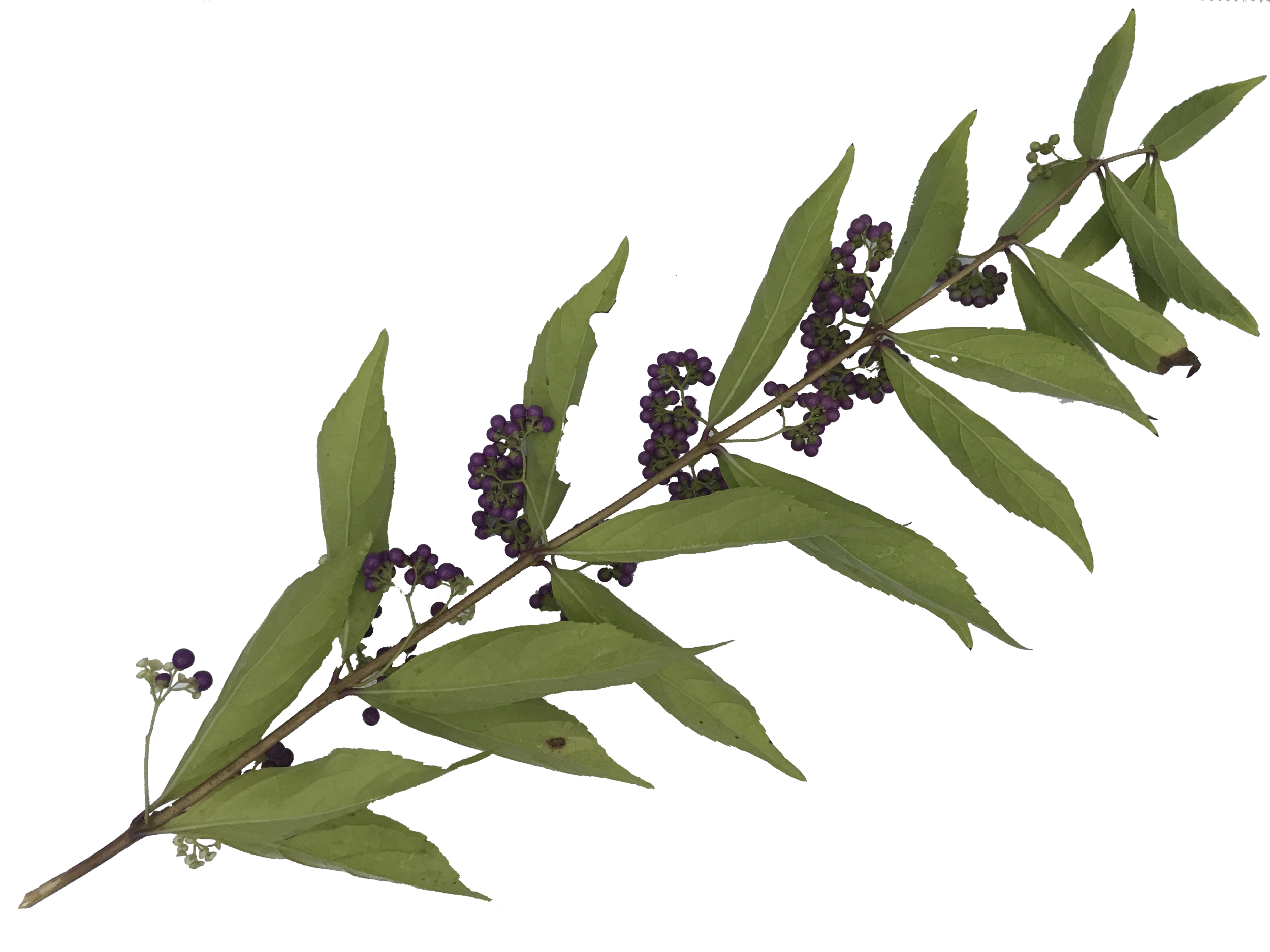 Leaves-2.png