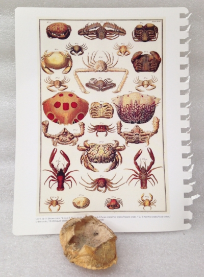 "Record Number: 042 Collection Date: 21 Oct 2017  Description: Calendar page and crab shell Dimension: 8.75"" X 6.75, .5"" X 3"" X 2.25"""