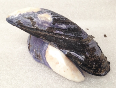 "Record Number: 049 Collection Date: 21 Oct 2017  Description: purple and black mussels, edible Dimension: 1"" x 4"" x 2"""