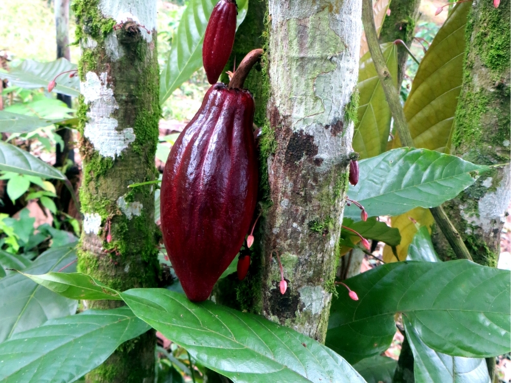 cacao_tree_nicaragua.jpg