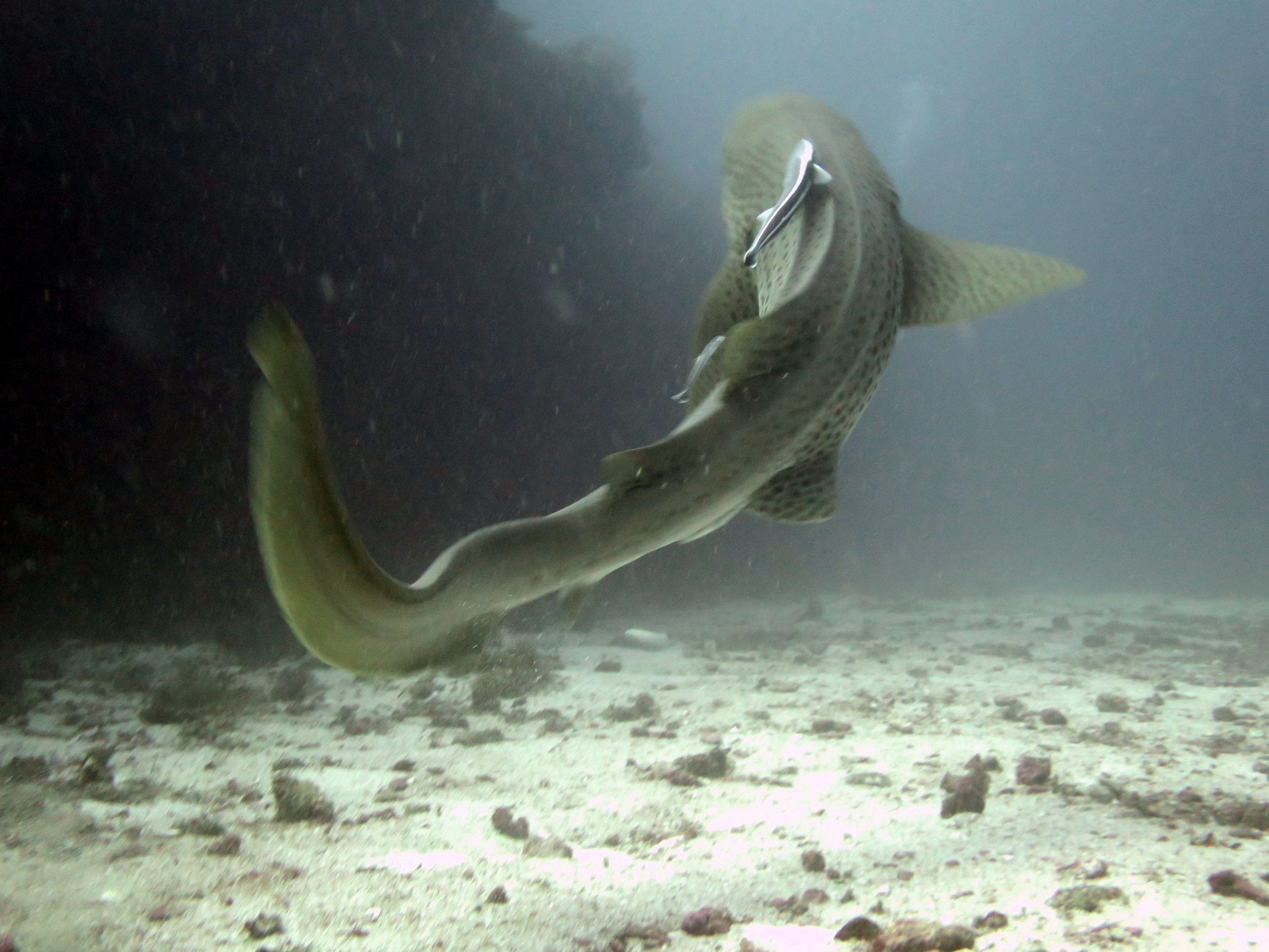 MOZAMBIQUE, TOFO, LEOPARD SHARK