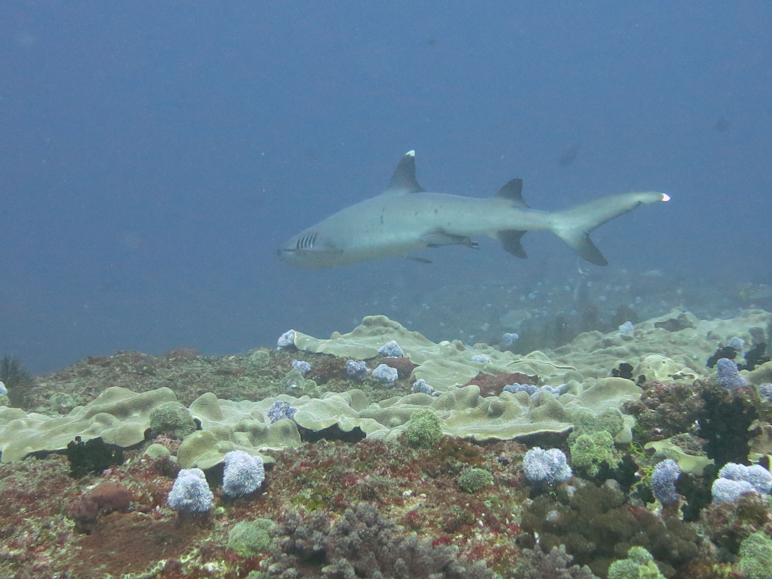 TOFO, MOZAMBIQUE, WHITE TIP REEF SHARK