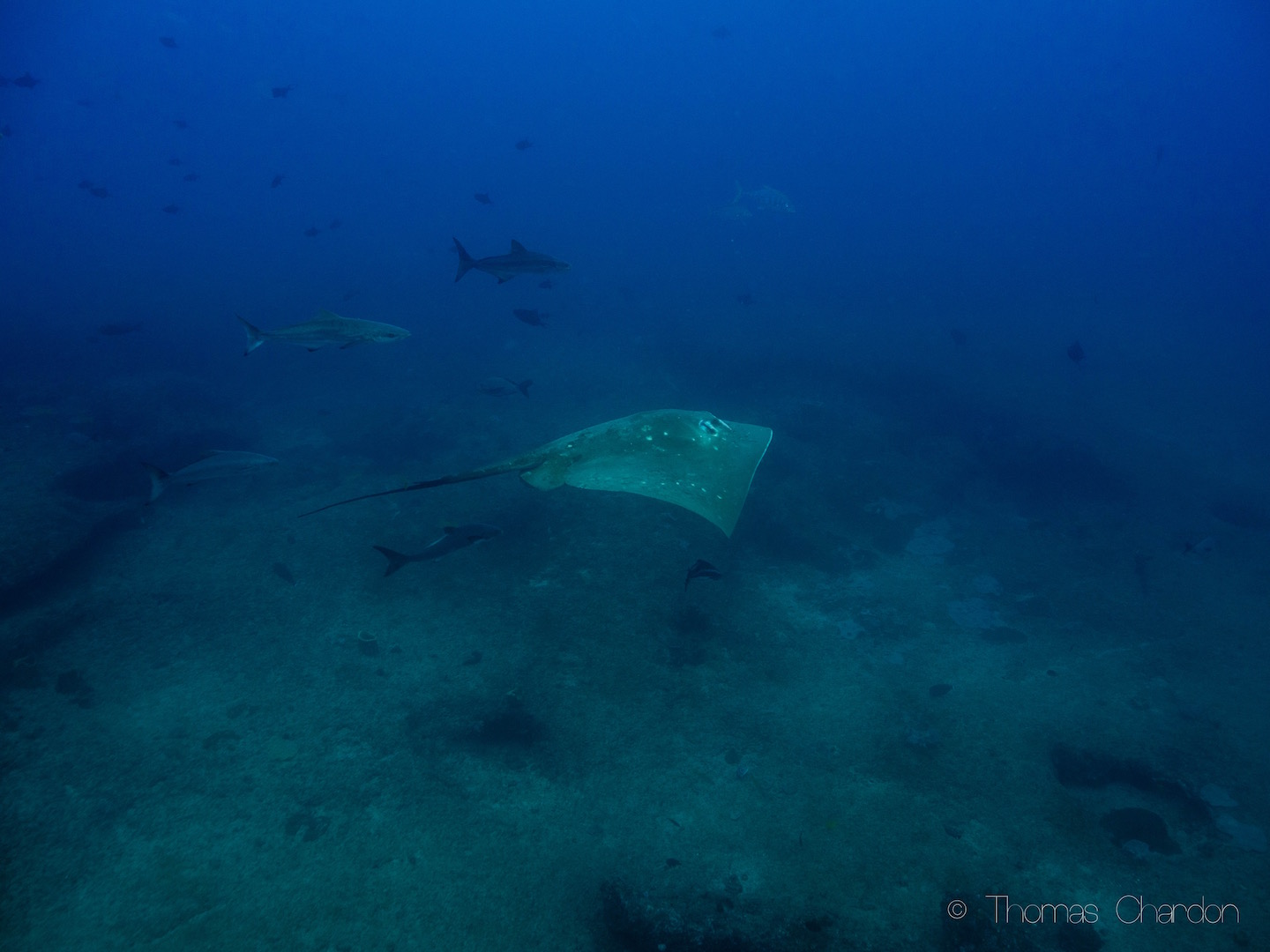 Diving in Tofo with Small Eye Stingray
