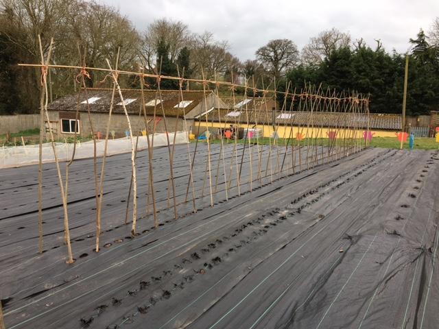 Farm Bean Poles
