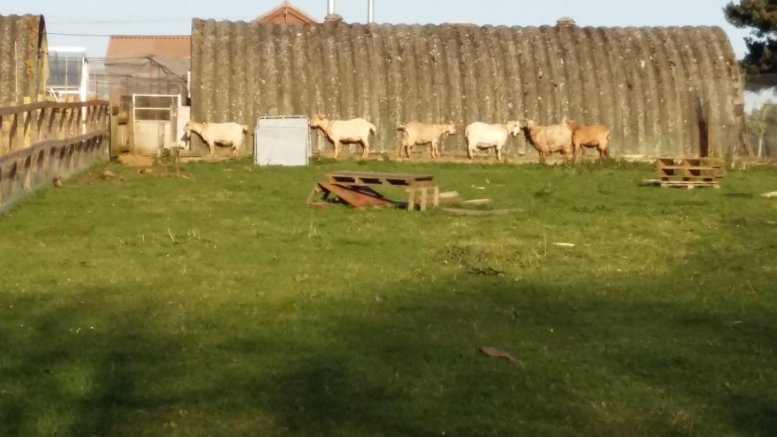 Goats And Nissen Hut