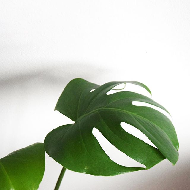 Happy #monsteramonday 🌱 . . . . . #plantselfie #plantsplantsplants #plantsofinstagram #plantsmakepeoplehappy #plantstyle #plantmom #plantmagic #monstera #monsterarmy #monsteradeliciosa #plantstagram #instaplants #minimal_mood #minimal_photo #minimalistlifestyle #minimal_shot #minimal_world #minimal_perfection