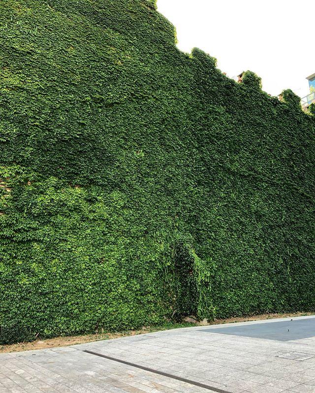 This wall of greenery ❤️ - #plantsofig #plantstrong #plants #plantsofinstagram #plantsmakepeoplehappy #plantsplantsplants #plantsomething #milan #milano #milanitaly #quartiereisola #instaplants #plantsofinsta #fromwhereistand #isolagaribaldi