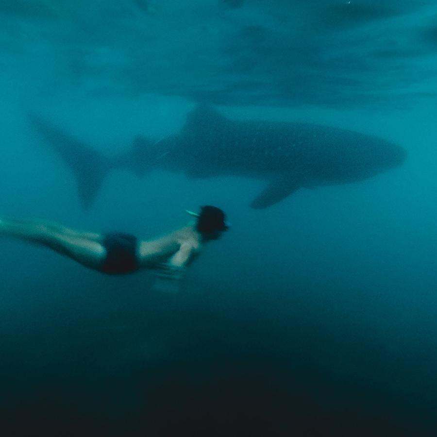 Nager avec les requins baleine. -
