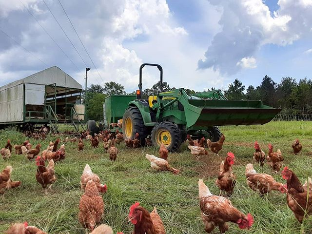 It's a beautiful day on the farm!  We have over 2,500 laying hens at the farm right now.  They are separated by age groups into our converted cotton trailers with the fields being sectioned off by netting. This allows us to roate our fields so the grass gets fertilized without having overgrazing.  Every year we do two plantings: one spring mix and one winter mix. The chickens love the variety and the fresh greens make a beautiful dark yellow yolk! #apppa #gpfarmsla #pasturedchickens #eggs #farmtotable #certifiedla #certifiedcajun #nola #acadiana #swla