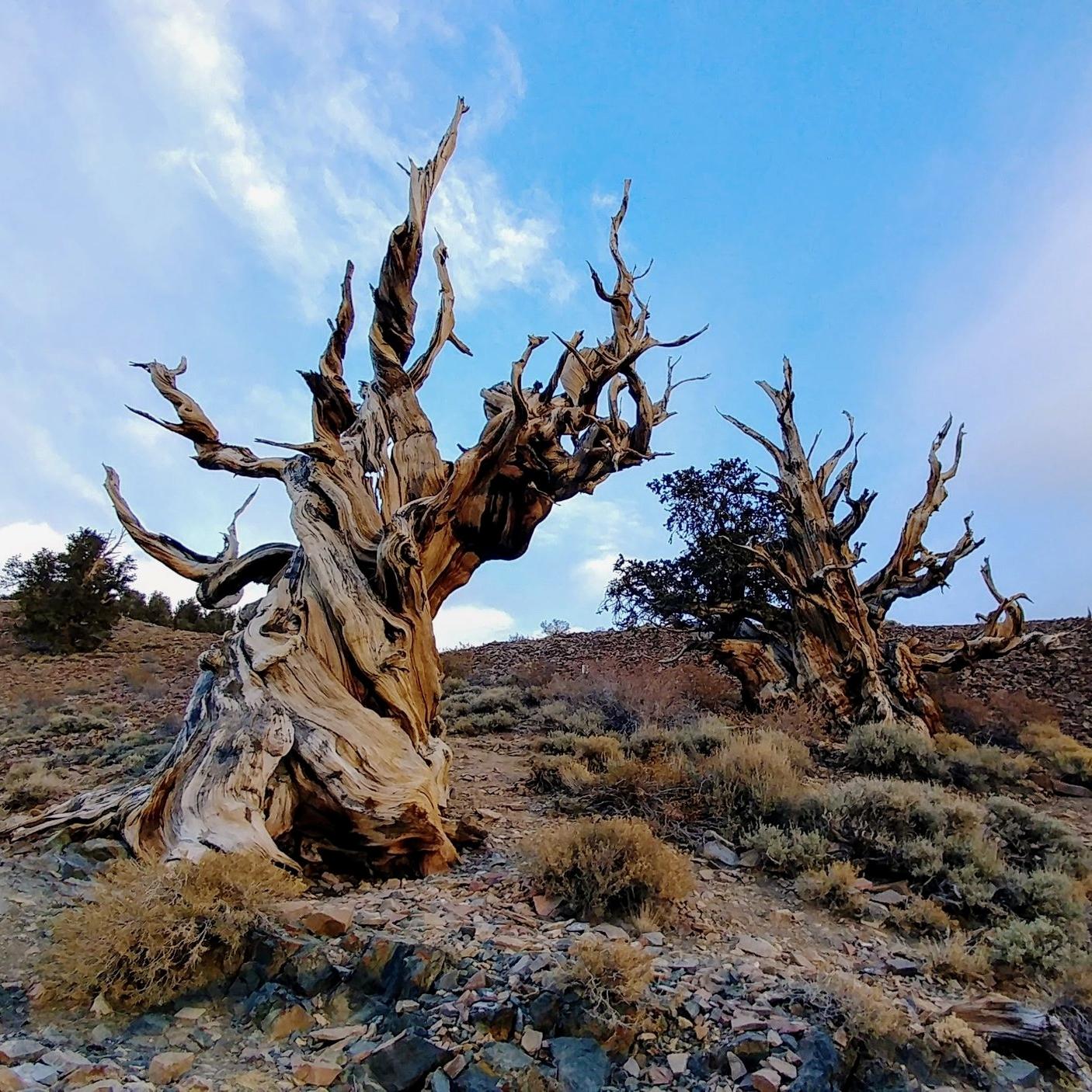 bristlecone-pine-california.jpg