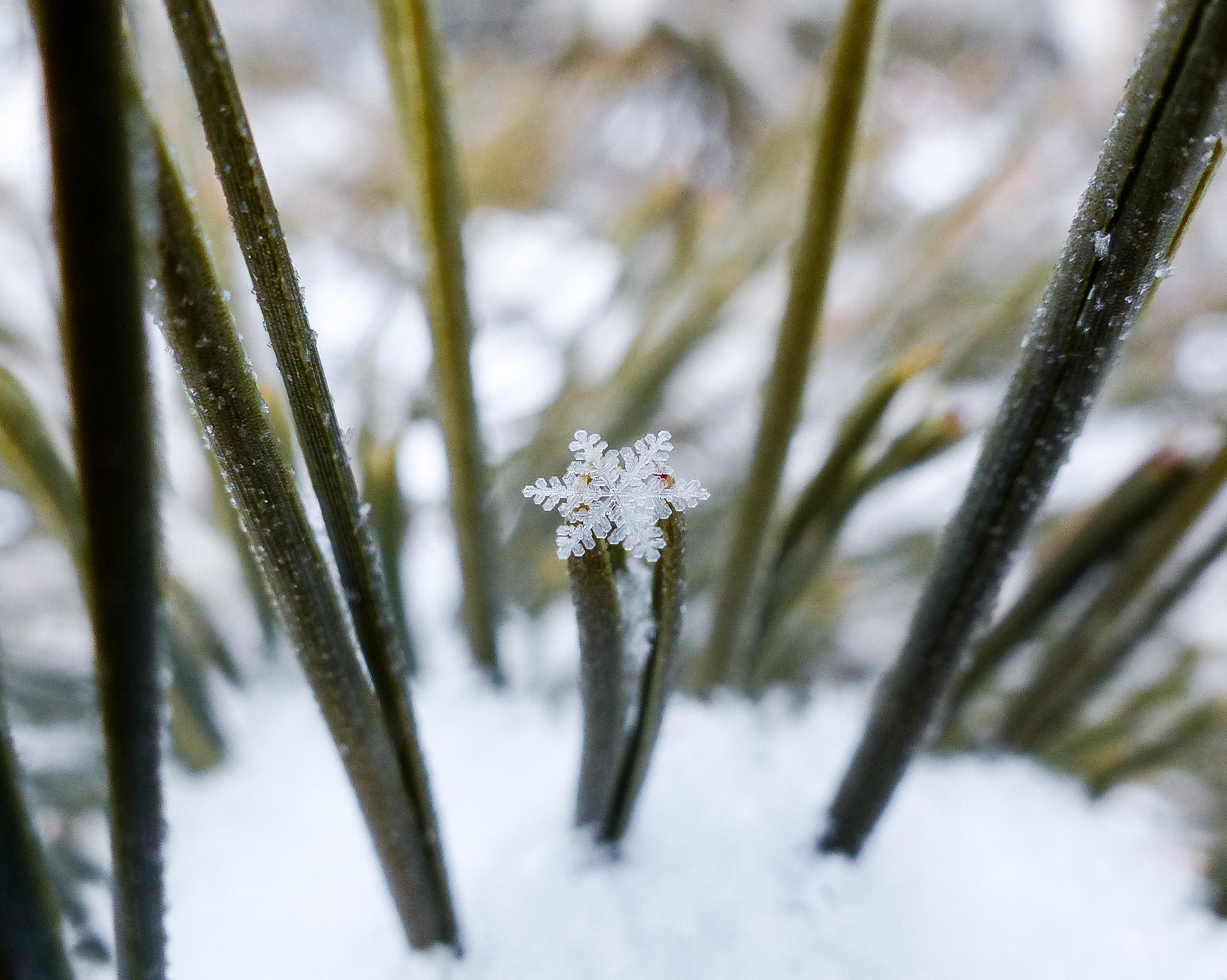 Snowflake on Pine Needle.jpg