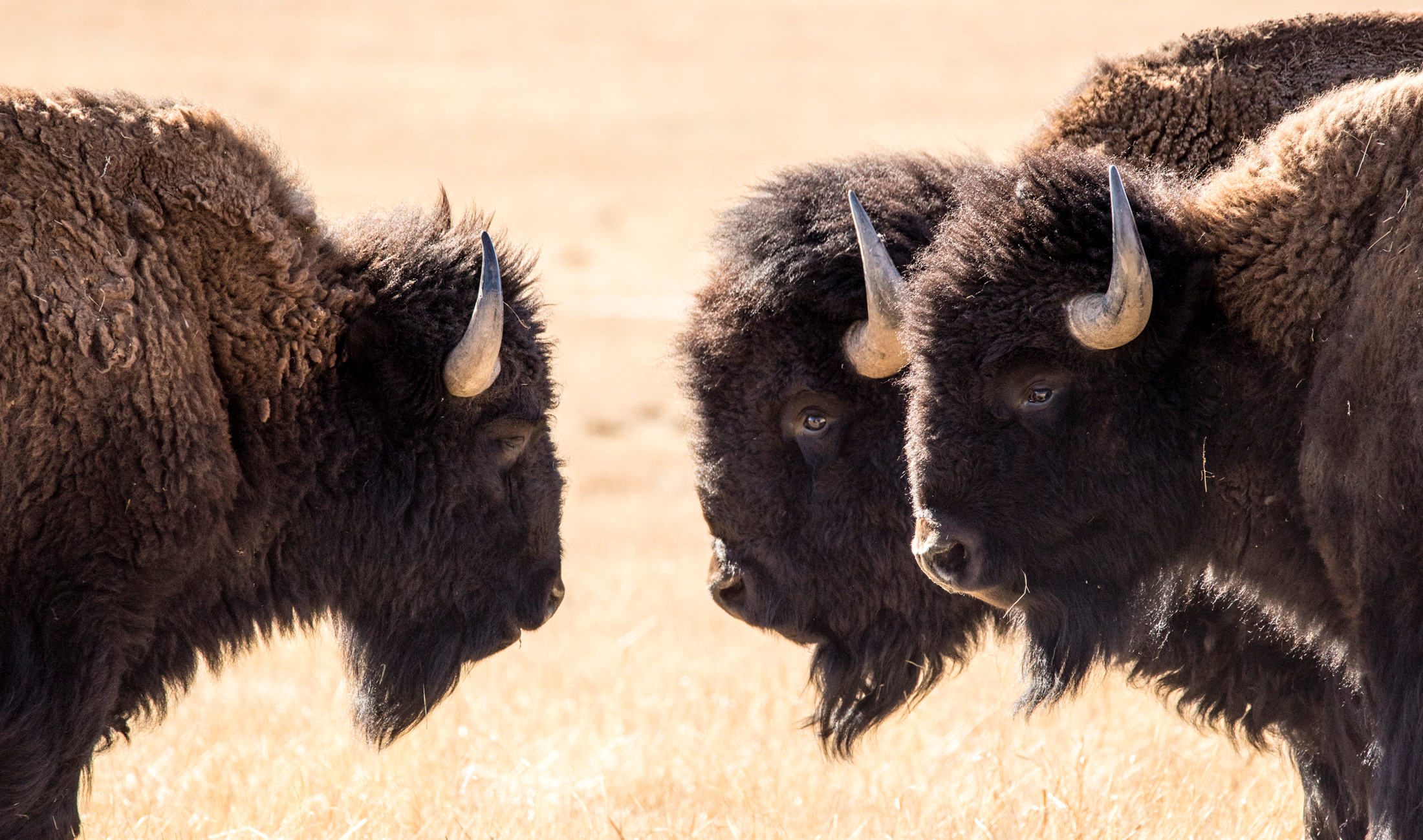 Three Buffalo.jpg