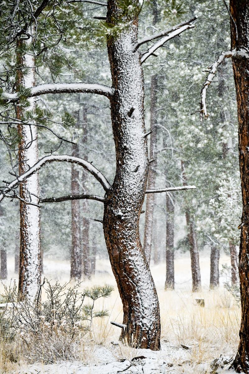 Dancing Ponderosa in Snow Storm