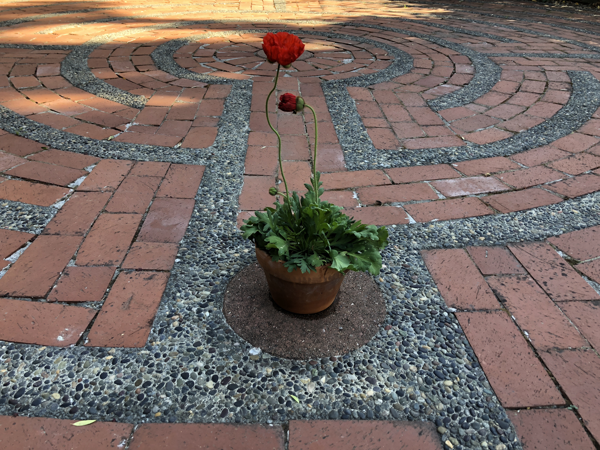 Red poppies in the heart-space of the Santa Rosa Labyrinth