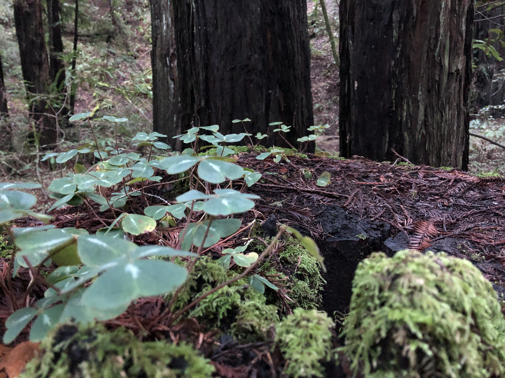 Armstrong Redwoods, CA