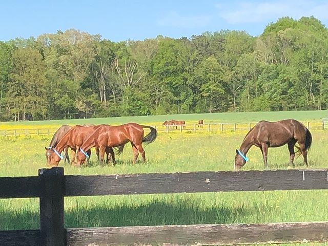 Look at the beautiful horses I get to see every day. #poloponies #poloplay #virginiaturnout @powhatanplantation