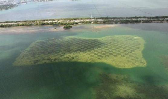 Aerial view of the Julia Tuttle Causeway Mitigation Site where CSA successfully transplanted over 29,000 seagrass planting units in checkerboard fashion as part of the Port of Miami Harbor expansion project.