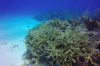 Stony corals mapped by CSA's divers off of Florida's east coast.