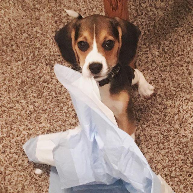 Wait these are for what!?! . #saynotopuppypads #puppy #puppyofinstagram #beagle #beaglepuppy #hughandboomer #puppylove #dog #mischief