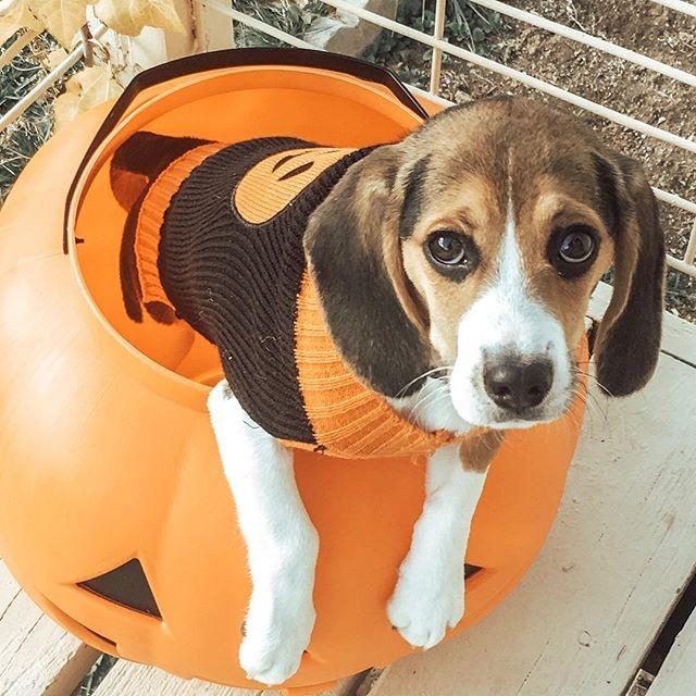 Hey! Where's the candy?! . #halloweencandy #spoiledpup #dogsinsweaters #beaglepuppy #beaglesofinstagram #beagle #puppylove #puppiesofinstagram