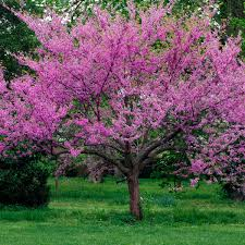 Cercis occidentalis, Western Red Bud