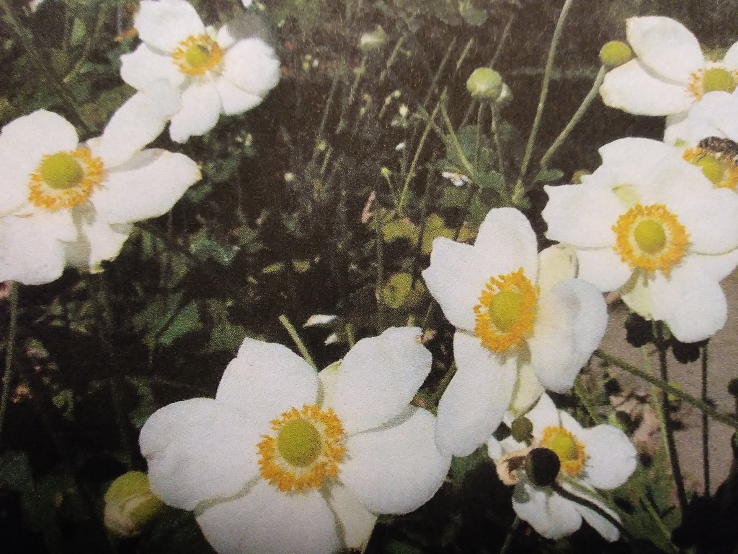 #4-Make your garden beautiful all year round. - Walk through your garden and see what you have already and make a note of when it blooms. Then, for each area of your garden make sure you have plants that will bloom or provide interest throughout the year. For example, Japanese anemones are beautiful in the fall they are a little lackluster in the spring, but by combining them with a planting of Persicaria Red dragon, you can match the dramatic structure of the plant and have visual interest in early spring and into summer when the anemones come on. Many early spring bulbs can be followed by late summer perennials