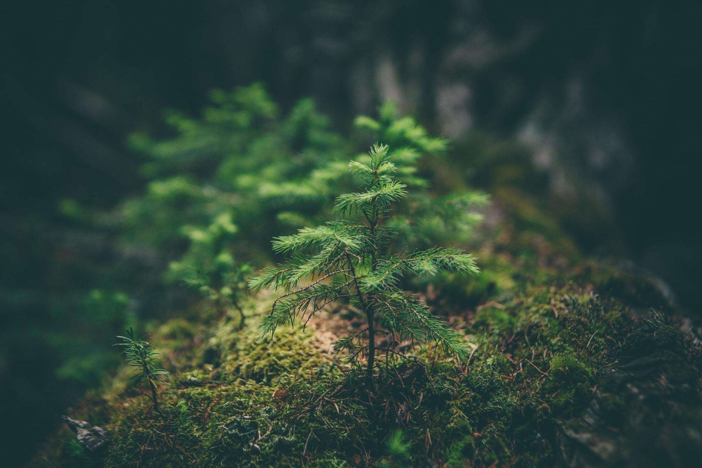 Baby Pine Tree.jpg