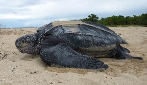 Leatherback-sea-turtle-4-588x342.jpg